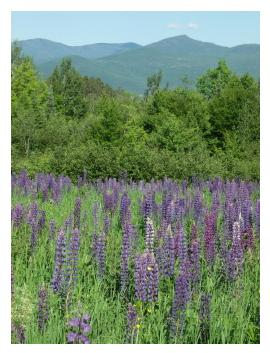 Sugar Hill, NH, hosts the annual Lupine Festival