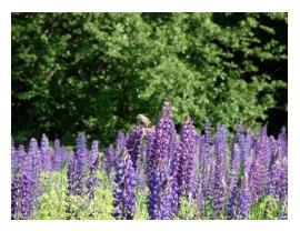 The Lupine Festival is so beautiful, so calming, so PERFECT!