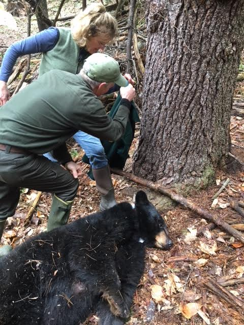 Hanover, NH's nuisance bear captured for relocation.