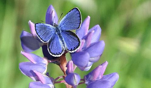 A Karner Blue Butterfly.
