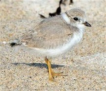 2017 Piping Plovers struggle in NH.