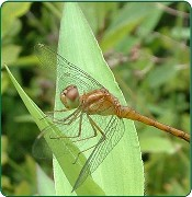 Dragonflies in your Backyard!