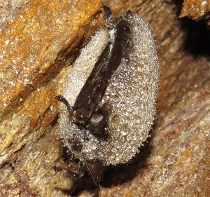 White Nose Syndrome has really hurt NH's bat populations.